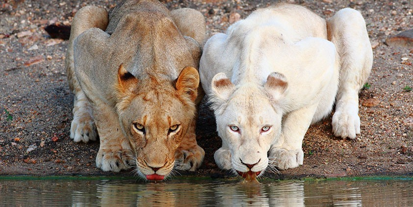 Nature-The White Lions