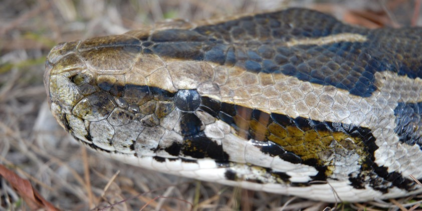 Nature-Invasion of the Giant Pythons
