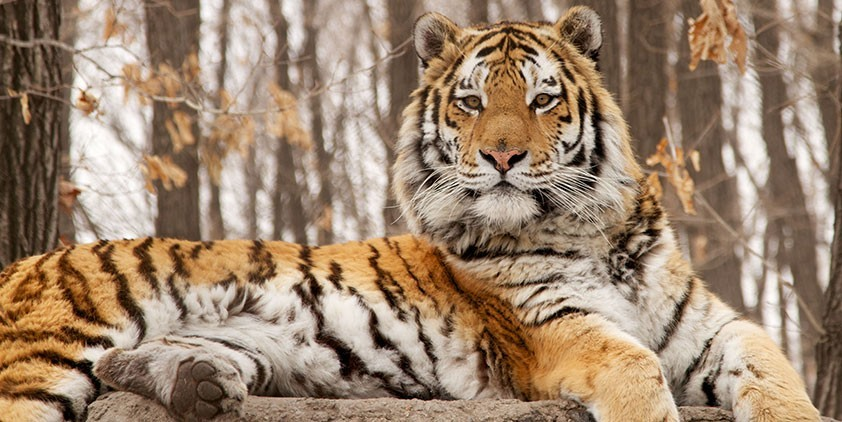 Nature-Siberian Tiger Quest