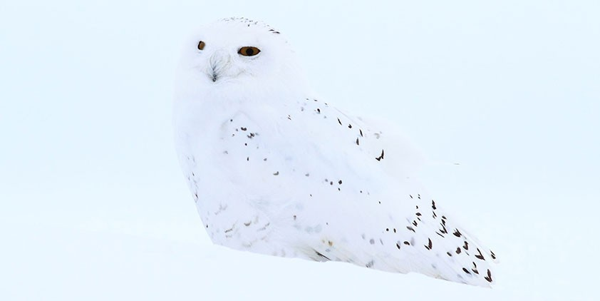 Nature-Magic of the Snowy Owl