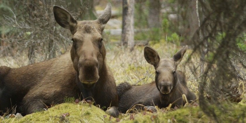 Nature-Moose: Life of a Twig Eater